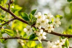 开花的樱桃在庭院里 免版税图库摄影