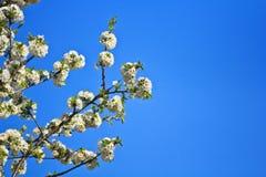 开花的樱桃在春天庭院里 免版税库存照片