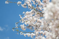 开花的樱桃春天结构树白色 图库摄影