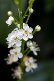开花的樱桃月桂树 库存图片