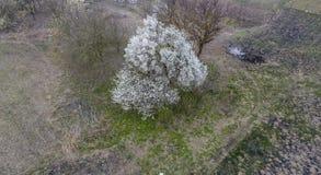 开花的樱桃李子 在干草中的一棵洋李 洋李白花在树的分支的 樱桃接近的花园红色春天郁金香上升白色 免版税库存照片