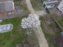 开花的樱桃李子 在路的一棵樱桃树 洋李白花在树的分支的 樱桃接近的花园红色春天郁金香上升白色 库存照片