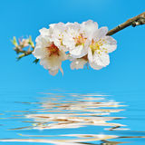 开花的樱桃李子 库存照片