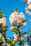 开花的樱桃枝杈 免版税库存图片