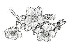 开花的樱桃树佐仓 向量例证