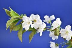 开花的樱桃树储蓄图象 库存照片