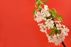 开花的樱桃树储蓄图象 免版税库存照片