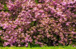 开花的樱桃树分支在草的 库存照片