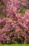 开花的樱桃树分支在草的 免版税库存照片