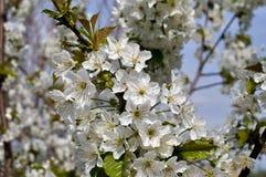 开花的樱桃树分支特写镜头  图库摄影