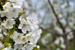 开花的樱桃树分支特写镜头  免版税图库摄影