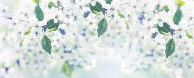 开花的樱桃树分支  库存照片