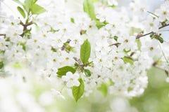 开花的樱桃树分支  库存图片