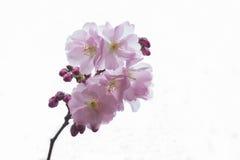开花的樱桃树分行 库存照片