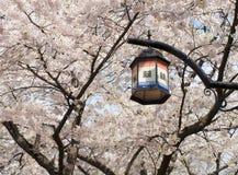 开花的樱桃树和亚洲街道灯笼 免版税库存图片