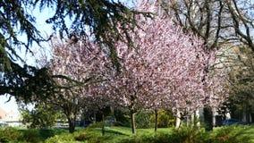 开花的樱桃树在公园 股票录像