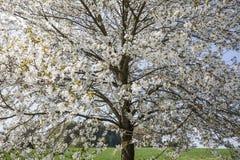 开花的樱桃树在哈根, Osnabrueck国家,德语 库存照片
