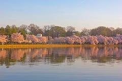开花的樱桃树在潮水坞附近的黎明,华盛顿特区 库存照片