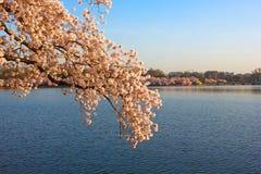 开花的樱桃树在潮水坞附近的黎明,华盛顿特区 免版税图库摄影