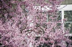 开花的樱桃树在西雅图郊区掩藏房子的窗口 免版税库存照片