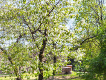 开花的樱桃树在都市公园在春天 库存照片