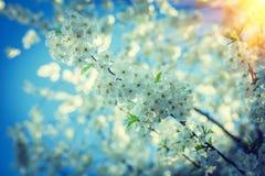 开花的樱桃树大分支在日落instagram窗框的 免版税库存图片
