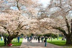 开花的樱桃树大学华盛顿 免版税库存图片