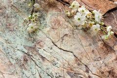 开花的樱桃树小树枝  免版税库存图片