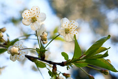 开花的樱桃树枝杈 库存图片