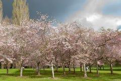 开花的樱桃树树丛在奥克兰的康沃尔郡公园 库存图片