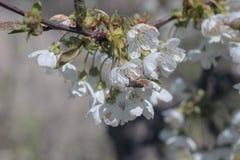 开花的樱桃树照片  免版税库存图片