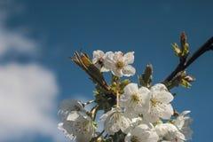 开花的樱桃树照片  图库摄影