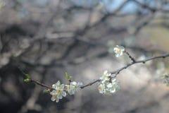 开花的樱桃树照片  免版税库存照片
