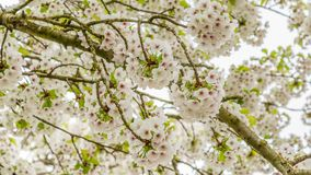 开花的樱桃树特写镜头  库存图片