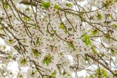 开花的樱桃树特写镜头  免版税库存照片