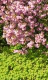 开花的樱桃树罗斯花在绿色叶子上的在底部 库存图片