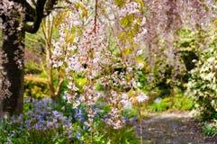 开花的樱桃树 佐仓开花的自然背景 免版税库存照片