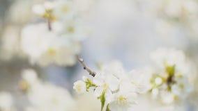 开花的樱桃树 股票录像