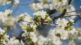 开花的樱桃树 股票视频