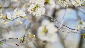 开花的樱桃树 影视素材