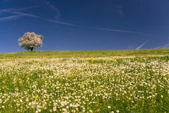 开花的樱桃树 库存照片