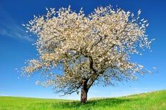 开花的樱桃树 免版税库存照片