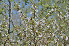 开花的樱桃树14 免版税库存图片