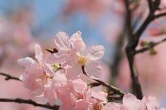 开花的樱桃树 免版税图库摄影