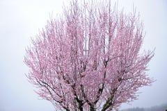 开花的樱桃桃红色结构树 免版税图库摄影