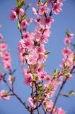 开花的樱桃桃红色花 库存照片