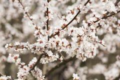 开花的樱桃淡粉红的花  库存照片