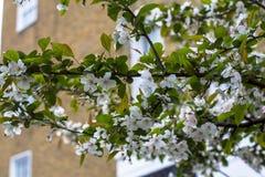 开花的樱桃特写镜头 在被弄脏的背景有窗口的一个砖房子 街道摄影在伦敦 库存照片