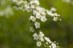 开花的樱桃白花在树枝的 免版税图库摄影