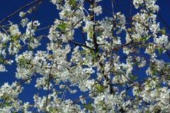 开花的樱桃的分支在蓝色的 免版税库存图片